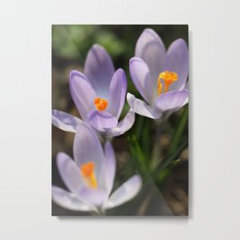 Crocus flowers Metal Print