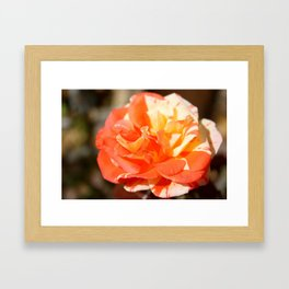 Autumn's Last Rose Framed Art Print