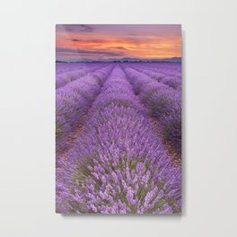 II - Sunrise over blooming fields of lavender in the Provence, France Metal Print