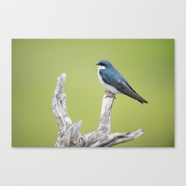 Perched Tree Swallow Canvas Print