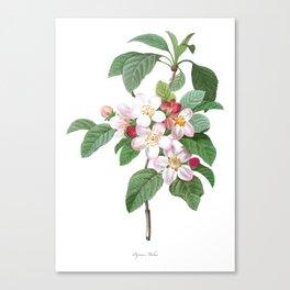 HIGHEST QUALITY botanical poster of Apple tree Canvas Print