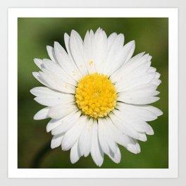 Closeup of a Beautiful Yellow and Wild White Daisy flower Art Print