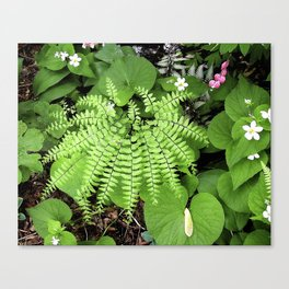 Maidenhair Fern, Adiantum Pedatum, And Friends Canvas Print