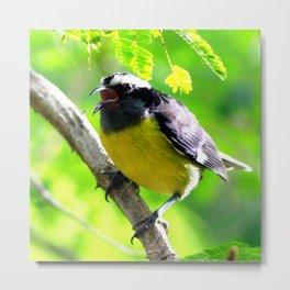 Watercolor Bird, Bananaquit 01, St John, USVI, Quit Eating all the Bananas! Metal Print