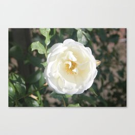 Old English Dog Rose Canvas Print