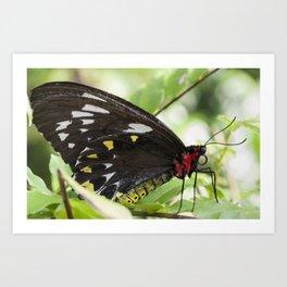 Butterfly Birdwing Art Print