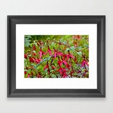 Pink Fuchsia Blossoms Framed Art Print