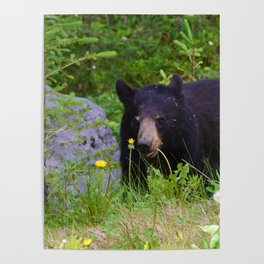 Black bear munches on some dandelions in Jasper National Park Poster