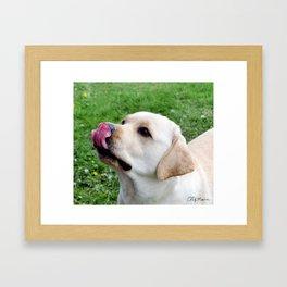 Lovely Labrador Framed Art Print