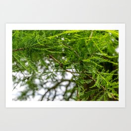 Conifer Branches Art Print