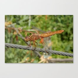 Female Red Skimmer Dragonfly Canvas Print