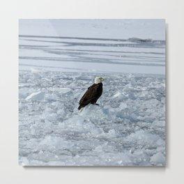 Bald eagle on ice Metal Print
