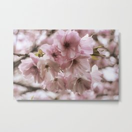 Double-flowered cherry tree Metal Print