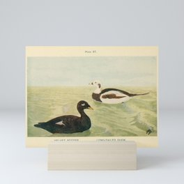 Vintage Print - British Birds and Their Eggs (1909) - Velvet Scoter & Long-Tailed Duck Mini Art Print