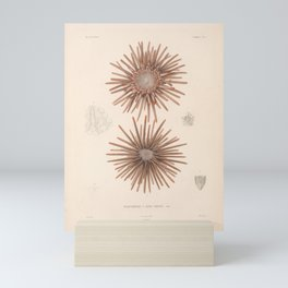 Naturalist Sea Urchins Mini Art Print