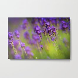 Textured background of lavender flowers Metal Print