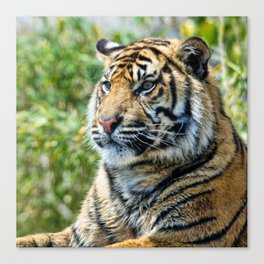 Tiger on guard Canvas Print