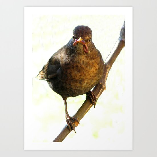 Female Blackbird (Turdus merula) Art Print