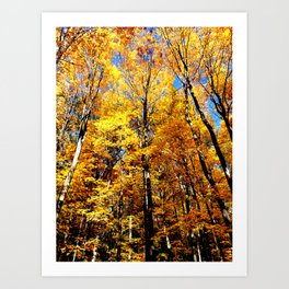 Autumn Maples Sunshine Art Print