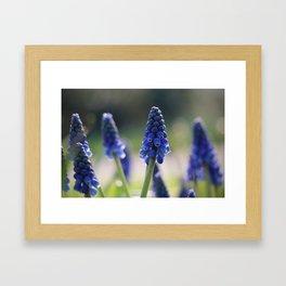 Blue spring - hyacinths in Manchester, England Framed Art Print