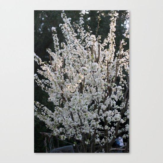 Plum in bloom Canvas Print
