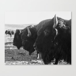 buffalo buddies  Canvas Print