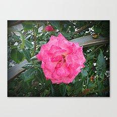 rosa rosa Canvas Print