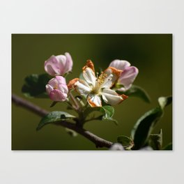 Wilting Apple Blossom Canvas Print
