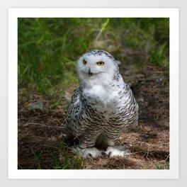 Alaskan Snowy Owl - Summer Art Print