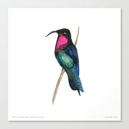 Purple-throated Carib Canvas Print