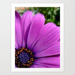 Purple Osteospermum Art Print