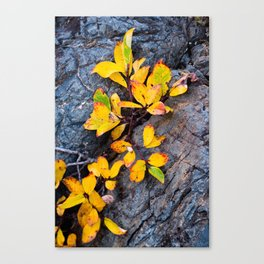 Detail view of autumn foliage on a rock Canvas Print