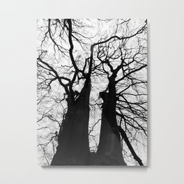 two tall winter beech trees Metal Print