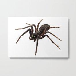 Black spider species tegenaria sp Metal Print