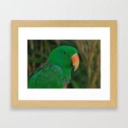 Green Eclectus Parrot Framed Art Print