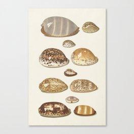 Vintage Seashell Chart II Canvas Print