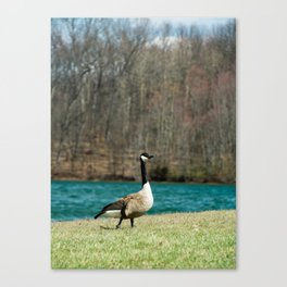 Single Canadian Goose Canvas Print