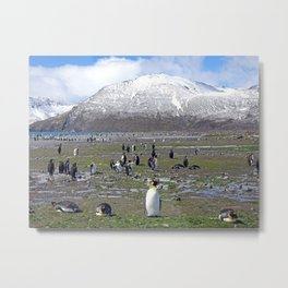 King Penguin Colony Metal Print