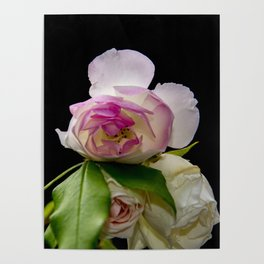 white and pink roses Poster