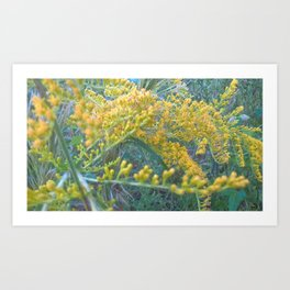 Goldenrod Art Print