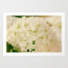 Vintage Nature Botanical White Hydrangea Flower Head Art Print