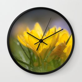 Yellow wet crocus at backlight Wall Clock