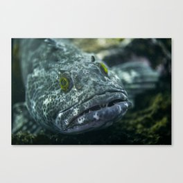 Unimpressed ling cod Canvas Print