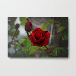 Red Rose by Little Prince Metal Print