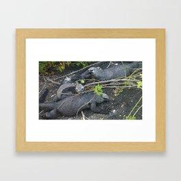 Galapagos Iguanas Framed Art Print