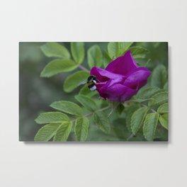 Bumble Bee On Wild Rose Metal Print