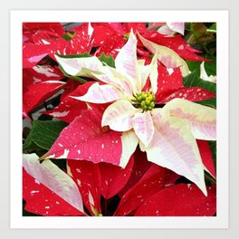 Red and White Poinsettia Art Print