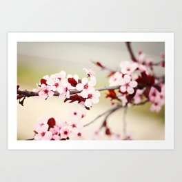 Pink Cherry Blossoms Art Print