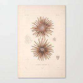 Naturalist Sea Urchins Canvas Print