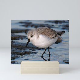 A Strolling Sanderling Mini Art Print